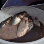 Raw Herring in a bucket