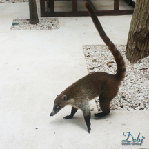 Vacation Photograph Coati Mexico